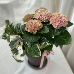 Magical-Hortensia istutus
